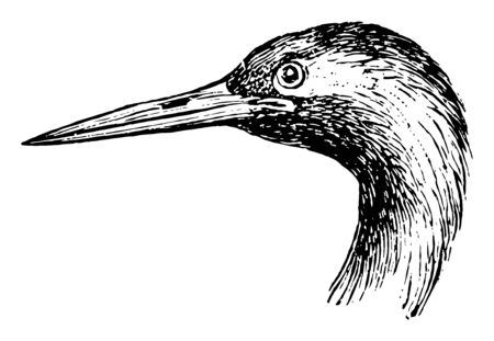 Crane Head and Leg where a bird in the Gruidae family of cranes, vintage line drawing or engraving illustration. Çizim