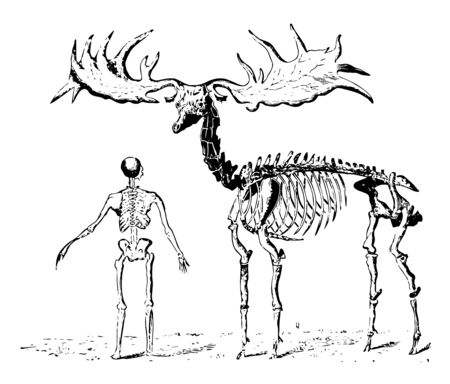 The giant elk ranged from Ireland to the borders of Italy, vintage line drawing or engraving illustration Çizim
