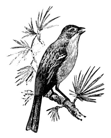 Field Sparrow Singing is a songbird in the Emberizidae family of American sparrows, vintage line drawing or engraving illustration. 向量圖像