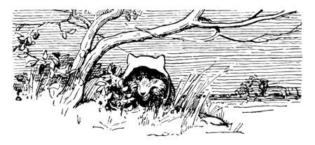 The fox wore hood and hides under a tree, vintage line drawing or engraving illustration Ilustração