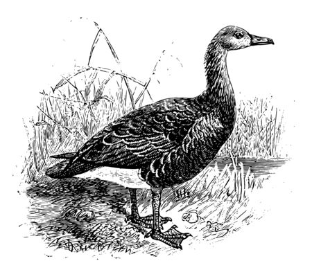 Greylag Goose is a bird in the Anatidae family of ducks, vintage line drawing or engraving illustration.