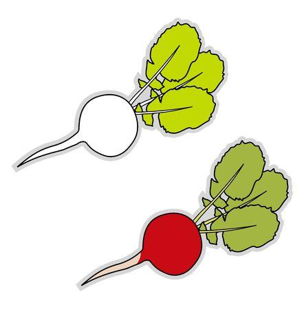 Fresh radish, illustration, vector on white background. Ilustrace