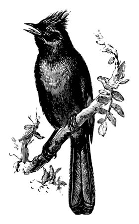 Flysnapper is a bird in the Ptilogonatidae family of silky flycatchers, vintage line drawing or engraving illustration. Illusztráció