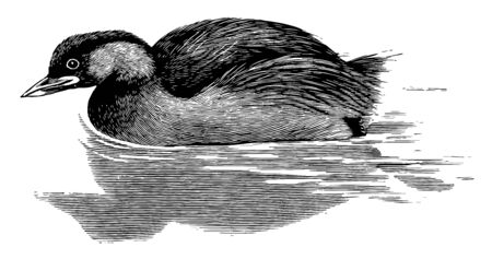 Little Grebe has rich chestnut cheeks throat and sides of the neck, vintage line drawing or engraving illustration.