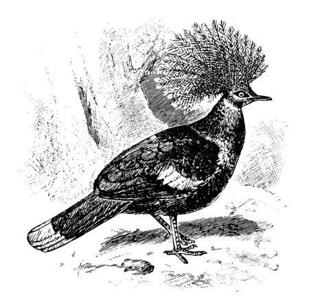Crown Pigeon is a large bluish grey pigeon with elegant blue lace like crests, vintage line drawing or engraving illustration. Çizim