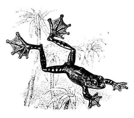 La grenouille volante est un amphibien ayant des orteils palmés extrêmement longs, un dessin de ligne vintage ou une illustration de gravure.