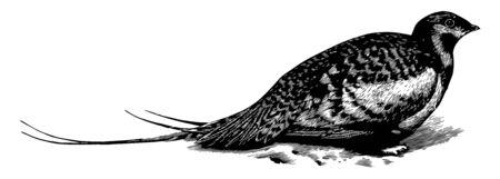 Esta imagen representa Pallas Sand Grouse, línea vintage de dibujo o ilustración de grabado.