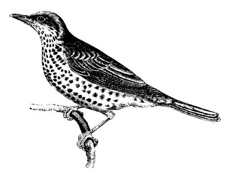 Mistletoe Thrush is ordinarily plain black or brown, vintage line drawing or engraving illustration. Фото со стока - 132800966