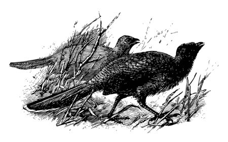 Plain Chachalaca is a bird in the Cracidae family of guans, vintage line drawing or engraving illustration.