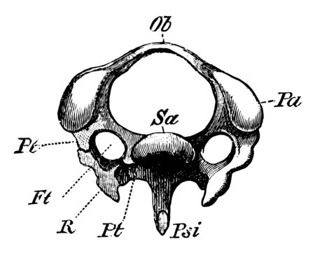 The Diagram of a Third Cervical Vertebra of a Woodpecker, vintage line drawing or engraving illustration.