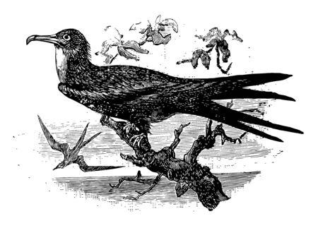 Ascension Frigatebird is a large seabird in the Fregatidae family of frigatebirds, vintage line drawing or engraving illustration.