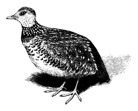Plain Wanderer is a bird the only representative of family Pedionomidae, vintage line drawing or engraving illustration.
