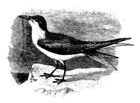 Gull Billed Tern is a bird in the Sternidae family of seabirds, vintage line drawing or engraving illustration. Ilustração