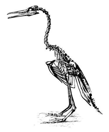 Restoration of Hesperornis regalis which stood about three feet high, vintage line drawing or engraving illustration. Vecteurs