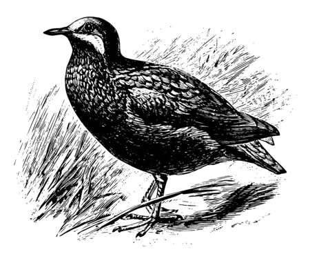 Olive Backed Quail Dove is a member of the dove family Columbidae, vintage line drawing or engraving illustration. Ilustrace