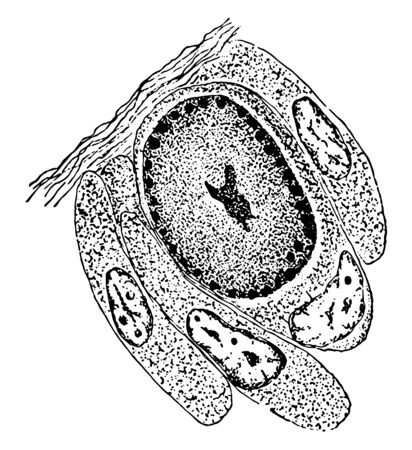 An illustration of the reproduction of an individual Euplotes Harpa by simple division, vintage line drawing or engraving illustration.