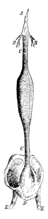 This diagram represents the Windpipe of a Male Red Breasted Merganser, vintage line drawing or engraving illustration.