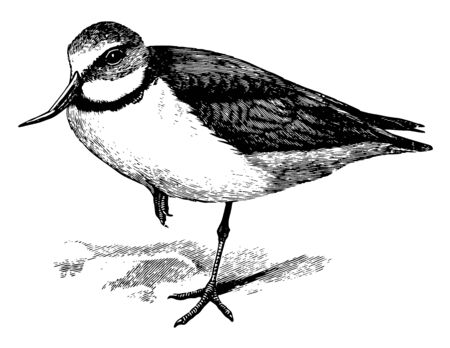 Wry bill is a species of plover endemic to New Zealand, vintage line drawing or engraving illustration.