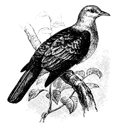 Bronze Fruit Pigeon is a bird in the Columbidae family of pigeons and doves, vintage line drawing or engraving illustration. Çizim