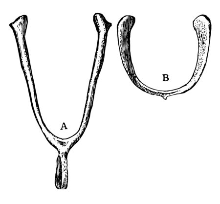 Function of furcula of a Domestic Fowl, vintage line drawing or engraving illustration.