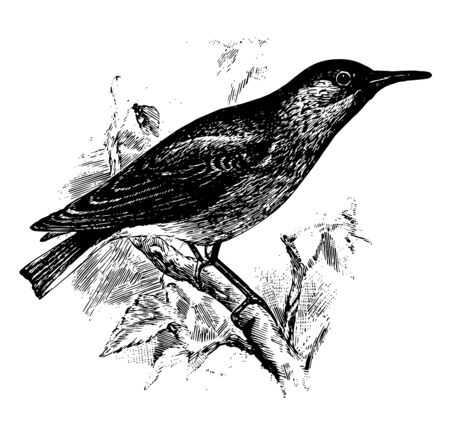 Common Miner is a passerine bird in the Furnariidae family of ovenbirds, vintage line drawing or engraving illustration.