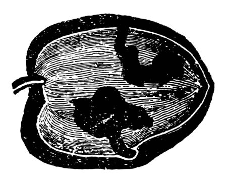 Gallery Formed by Larvae of Dacus Oleae which requires twenty seven to twenty eight days to pass to its perfect state vintage line drawing or engraving illustration.