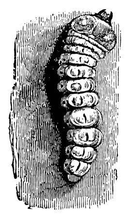 Longhorn Beetle Larva is a cosmopolitan family of beetles vintage line drawing or engraving illustration.