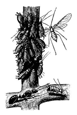 Ant and Plant Lice where they will milk the bugs of this liquid vintage line drawing or engraving illustration. Illustration