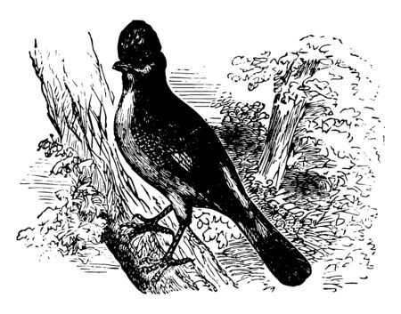 Eurasian Jay is usually birds of right and varied colors vintage line drawing or engraving illustration. Illustration