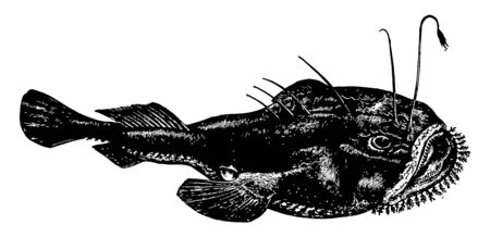 Anglerfish are the members of the order Lophiiformes vintage line drawing or engraving illustration.