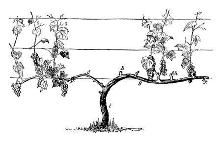 This illustration represents Ideal Vine for Cane Renewal before matures into older wood that may be used as a trunk or cordon vintage line drawing or engraving illustration.