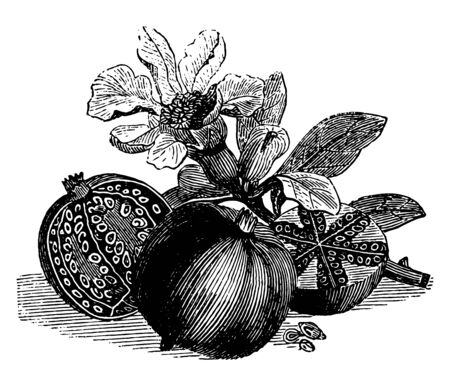 Pomegranate is edible fruit which has tiny red seeds in it vintage line drawing or engraving illustration