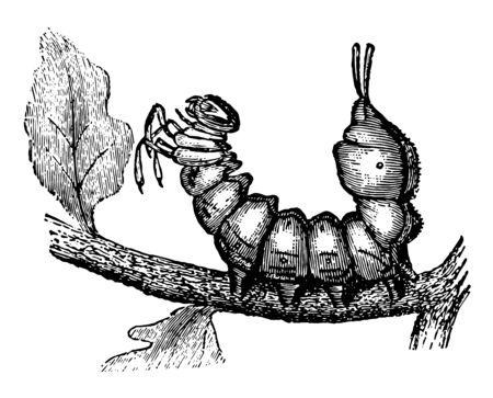 Larva of Lobster Moth presents a strange appearance vintage line drawing or engraving illustration.