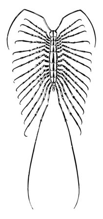 House Centipede is a yellow and gray centipede with thirty legs vintage line drawing or engraving illustration. Çizim