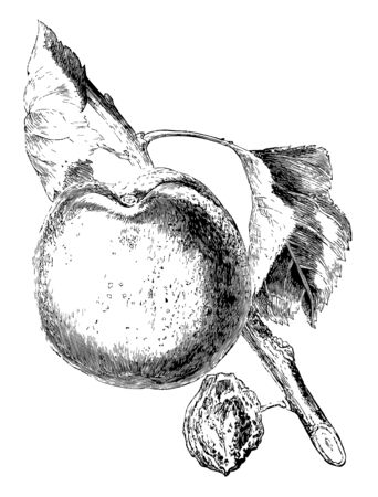In this image is a hemskirke apricot, vintage line drawing or engraving illustration.