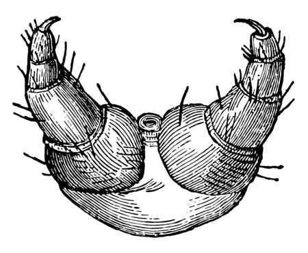 This image represents Scaly Legs of the Caterpillar of the Gipsy Moth vintage line drawing or engraving illustration.
