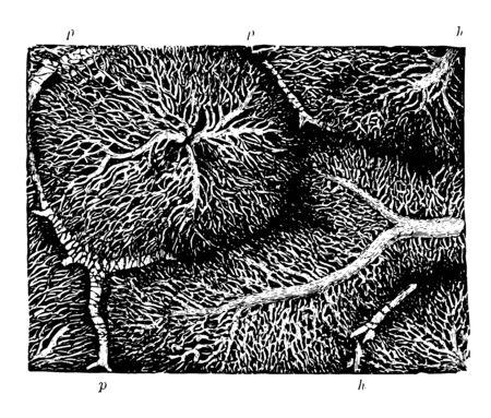 Cette illustration représente le réseau capillaire dans les lobules d'un dessin de ligne vintage de foie de lapin ou d'une illustration de gravure.