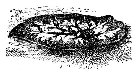 This illustration represents Begonia Leaf where young plants starting from incisions on a begonia leaf, vintage line drawing or engraving illustration.