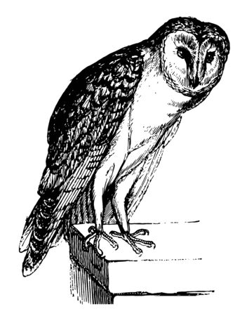 Barn Owl is known to destroy rats and mice on farms, vintage line drawing or engraving illustration.