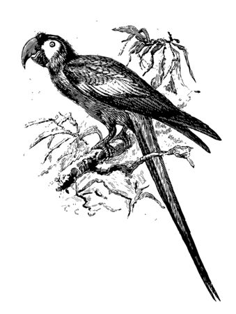 Macaw on Branch which is native to Mexico vintage line drawing or engraving illustration.