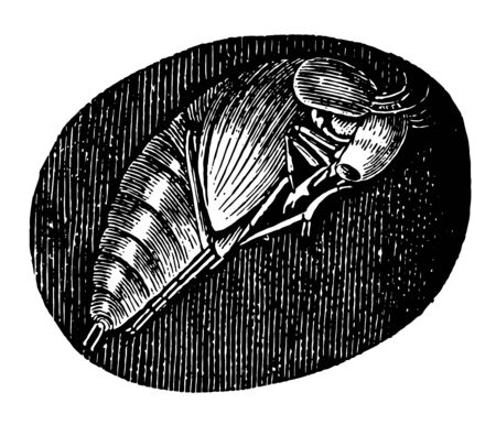 Pupa of the Hydrophilus Piceus which burrows into the ground to undergo its metamorphosis into a pupa vintage line drawing or engraving illustration. Ilustração