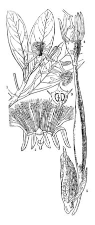 Mangrove tree is a tree with roots which are above the ground and that grows along coasts or on the banks of large rivers in hot countries vintage line drawing or engraving illustration.