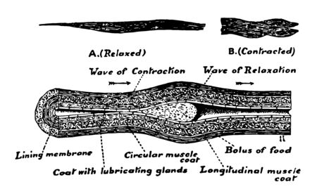 An Image of an esophagus showing how a mass of food or bolus passes through the esophagus into the stomach, vintage line drawing or engraving illustration. Ilustracja