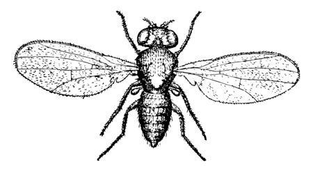 Pomace Fly is also known by the names vinegar gnats and fruit flies vintage line drawing or engraving illustration.