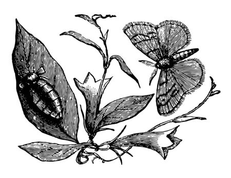 Vapourer Moth which do a great deal of damage to our forest trees vintage line drawing or engraving illustration. Illustration