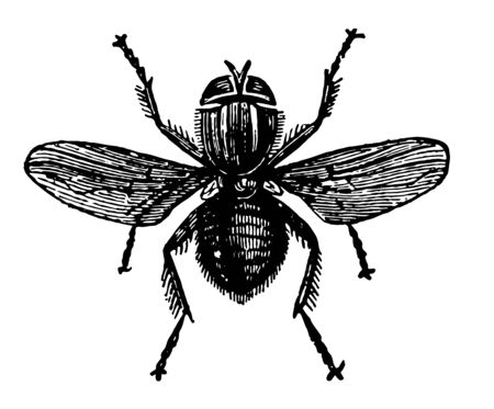 Lucilia Hominivorax is a specimen of the golden fly vintage line drawing or engraving illustration.