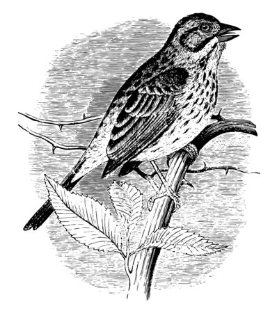 Song Sparrow is a medium sized American sparrow vintage line drawing or engraving illustration.