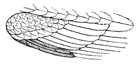 The winglet bastard wing or ala spuria of a bird vintage line drawing or engraving illustration. Ilustración de vector