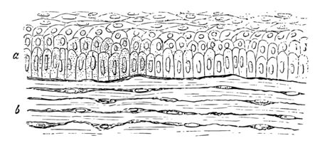 Magnified Rabbit Cornea showing the different shapes of the cells at various depths from the free surface vintage line drawing or engraving illustration.