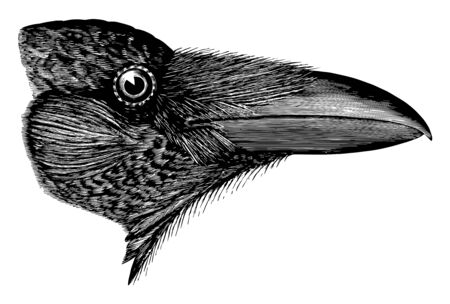 American Raven in which color entirely lustrous black with chiefly purplish vintage line drawing or engraving illustration. Illustration